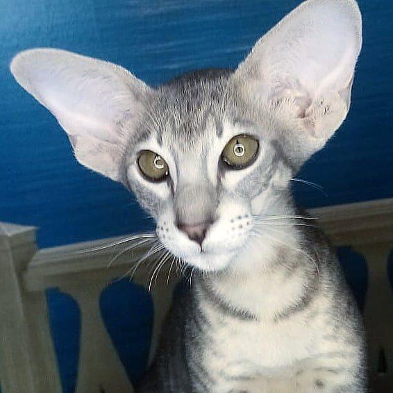 ▪︎449male-OSHa24 sold Котик голубого пятнистого окраса, возраст 6 месяцев, ценовая категория Middle  WhatsApp +79162229975 #siaorimaniaall#siaorimaniatab#siaorimaniaosh24#siaorimaniam#siaorimania6070#siaorimaniamiddle#siaorimaniamos