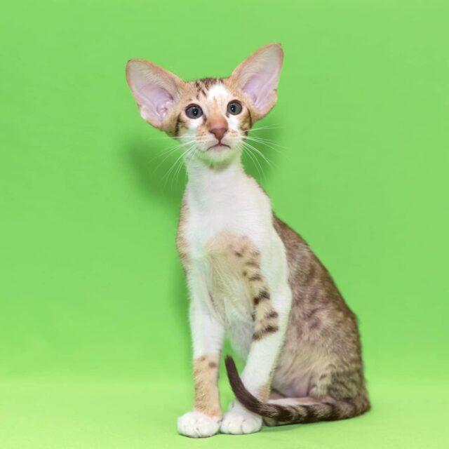 ▪︎269male-OSHb2403 Ориентальный котик биколорного окраса, возраст 3,5 месяца, ценовая категория Low  WhatsApp +79162229975 #siaorimaniaall#siaorimaniaosh03#siaorimaniam#siaorimania3545#siaorimanialow#siaorimaniaomsk#siaorimaniaready