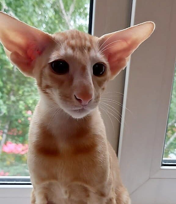 ▪︎395male-OSHd24 Ориентальный котик красного пятнистого окраса, возраст 3,5 месяца, ценовая категория Middle  WhatsApp +79162229975 #siaorimaniaall#siaorimaniatab#siaorimaniaoshde#siaorimaniaosh24#siaorimaniam#siaorimania5060#siaorimaniamiddle#siaorimaniasam