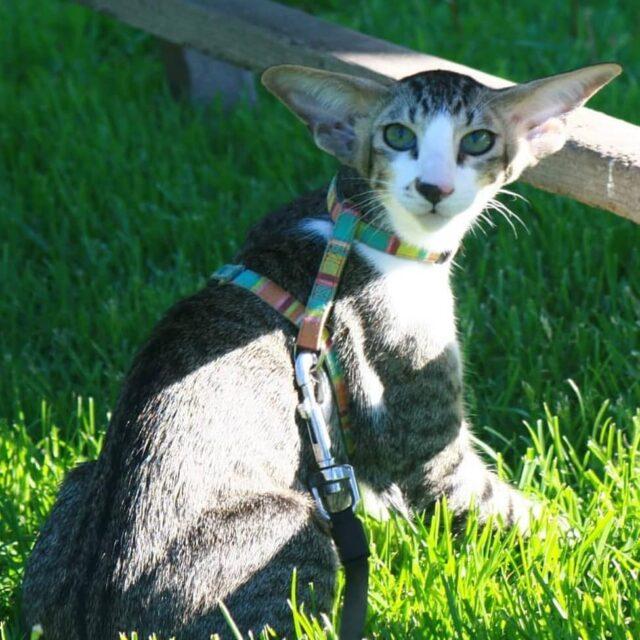 ▪︎356male-OSHn2403 Ориентальный котик биколорного окраса, возраст 4 месяца, ценовая категория Middle  WhatsApp +79162229975 #siaorimaniaall#siaorimaniaosh03#siaorimaniam#siaorimania5060#siaorimaniamiddle#siaorimaniamos#siaorimaniaready