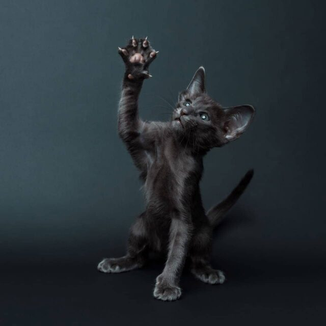 ▪︎327female-OSHa Ориентальная кошечка голубого окраса, возраст 3,5 месяца, ценовая категория Middle  WhatsApp +79162229975 #siaorimaniaall#siaorimaniasol#siaorimaniaosha#siaorimaniaf#siaorimania4050#siaorimaniamiddle#siaorimanianvs#siaorimaniaready