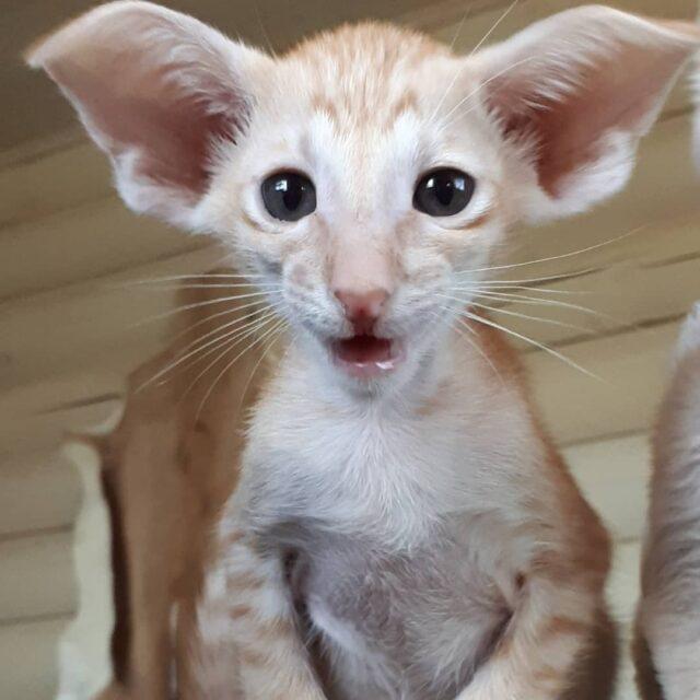 ▪︎448male-OSHd24 Ориентальный котик красного пятнистого окраса, возраст 2,5 месяца, ценовая категория Middle  WhatsApp +79162229975 #siaorimaniaall#siaorimaniaoshde#siaorimaniaosh24#siaorimaniam#siaorimaniaext#siaorimania5060#siaorimaniamiddle#siaorimaniamos