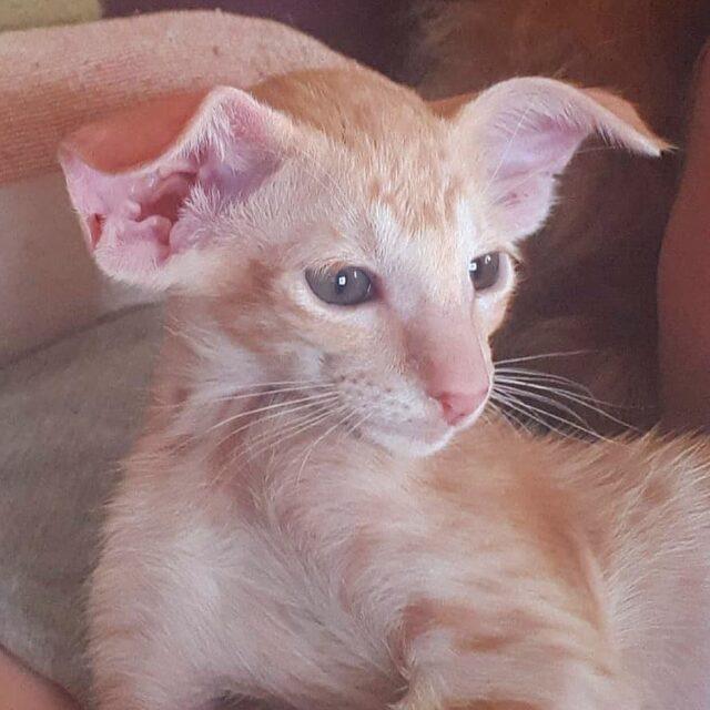 ▪︎448male-OSHd24 Ориентальный котик красного пятнистого окраса, возраст 2,5 месяца, ценовая категория Middle  WhatsApp +79162229975 #siaorimaniaall#siaorimaniaoshde#siaorimaniaext#siaorimaniam#siaorimania5060#siaorimaniamiddle#siaorimaniamos