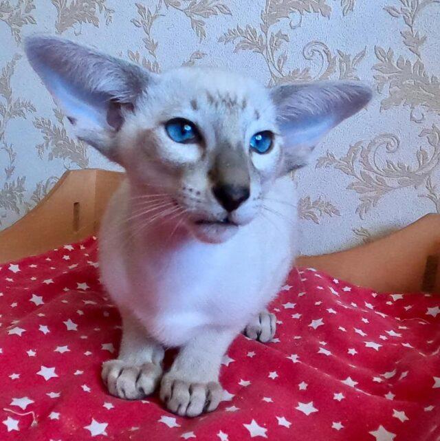 ▪︎295male-SIAn21 Сиамский котик окраса сил-табби-пойнт, возраст 3 месяца, ценовая категория High  WhatsApp +79162229975 #siaorimaniaall#siaorimaniasiaall#siaorimaniasia21#siaorimaniam#siaorimania100110#siaorimaniahigh#siaorimaniachernigov
