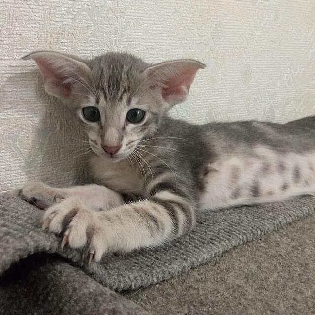 ▪︎455male-OSHa22 Ориентальный котик голубого мраморного окраса, возраст 2,5 месяца, ценовая категория Middle  WhatsApp +79162229975 #siaorimaniaall#siaorimaniatab#siaorimaniaosh22#siaorimaniam#siaorimania6070#siaorimania6045#siaorimaniaryazan