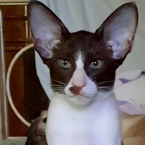 ▪︎167male-OSHb03 Ориентальный котик шоколадного биколорного окраса, возраст 3,5 месяца, ценовая категория Middle  WhatsApp +79162229975 #siaorimaniaall#siaorimaniaosh03#siaorimaniam#siaorimania6070#siaorimaniamiddle#siaorimaniatver#siaorimaniaready
