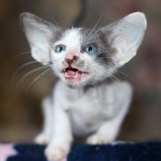 ▪︎112male-OSHa03 Ориентальный котик биколорного окраса, возраст 2 месяца, ценовая категория Low  WhatsApp +79162229975 #siaorimaniaall#siaorimaniaosh03#siaorimaniam#siaorimania2535#siaorimanialow#siaorimaniacheliabinsk