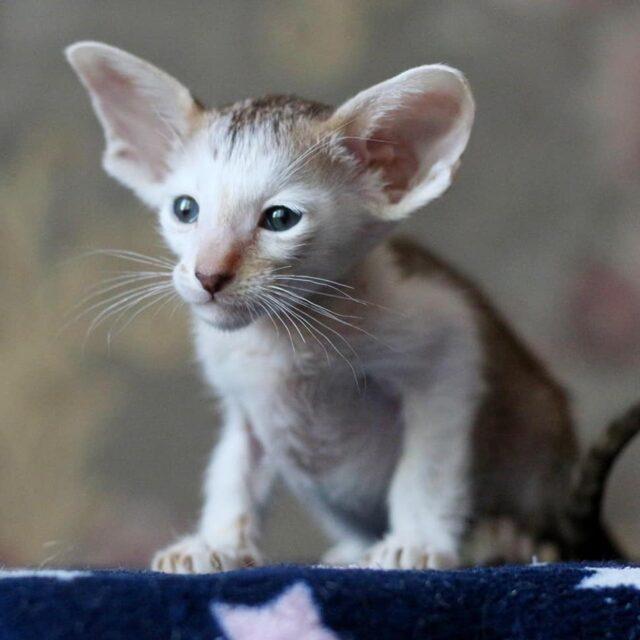 ▪︎112male-OSHb2403 Ориентальный котик биколорного окраса, возраст 2 месяца, ценовая категория Low  WhatsApp +79162229975 #siaorimaniaall#siaorimaniaosh03#siaorimaniam#siaorimania3040#siaorimanialow#siaorimaniacheliabinsk