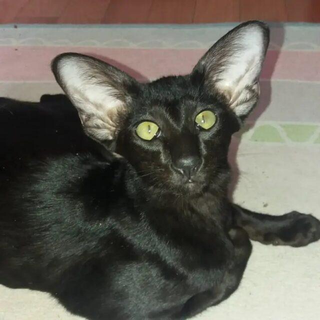 ▪︎227male-OSHn Ориентальный котик черного окраса, возраст 6 месяцев, ценовая категория Low  WhatsApp +79162229975 #siaorimaniaall#siaorimaniasol#siaorimaniaoshn#siaorimaniam#siaorimania3040#siaorimania3525#siaorimanialow#siaorimaniaspb#siaorimaniaready