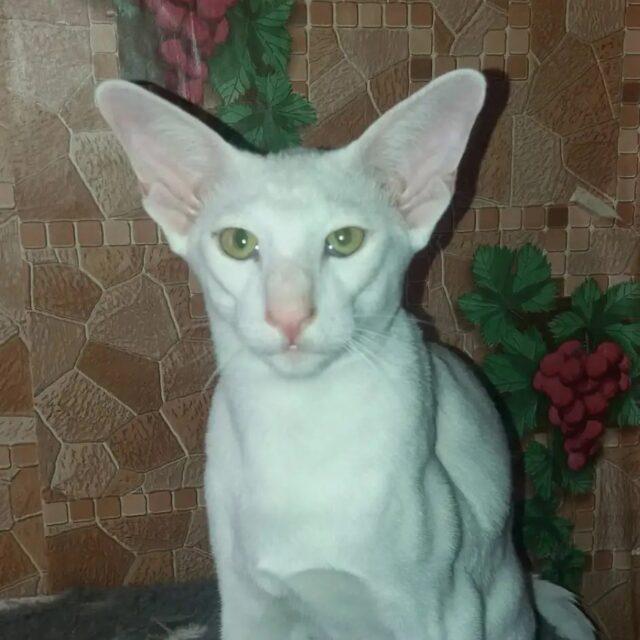▪︎227male-OSHw64 Ориентальный котик белого окраса, возраст 6 месяцев, ценовая категория Low  WhatsApp +79162229975 #siaorimaniaall#siaorimaniasol#siaorimaniaoshw#siaorimaniam#siaorimania3040#siaorimania3525#siaorimanialow#siaorimaniaspb#siaorimaniaready