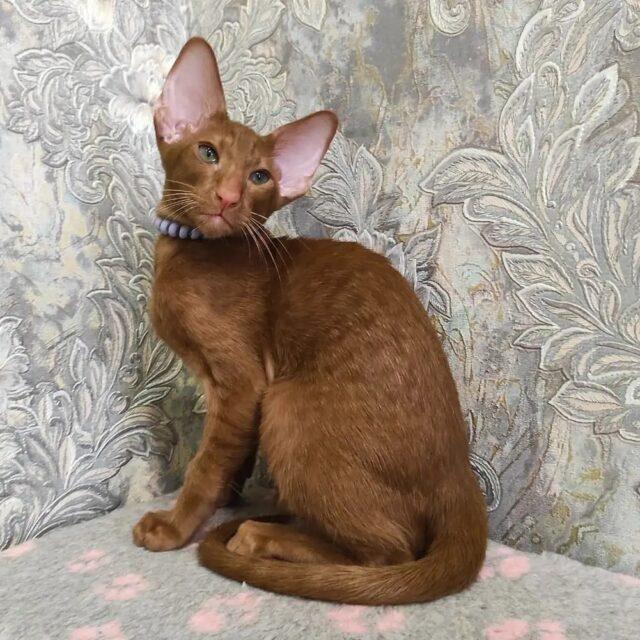 ▪︎515female-OSHo Ориентальный котик окраса циннамон, возраст 4 месяца, ценовая категория Middle  WhatsApp +79162229975 #siaorimaniaall#siaorimaniasol#siaorimaniaosho#siaorimaniam#siaorimania5060#siaorimaniakostroma#siaorimaniaready
