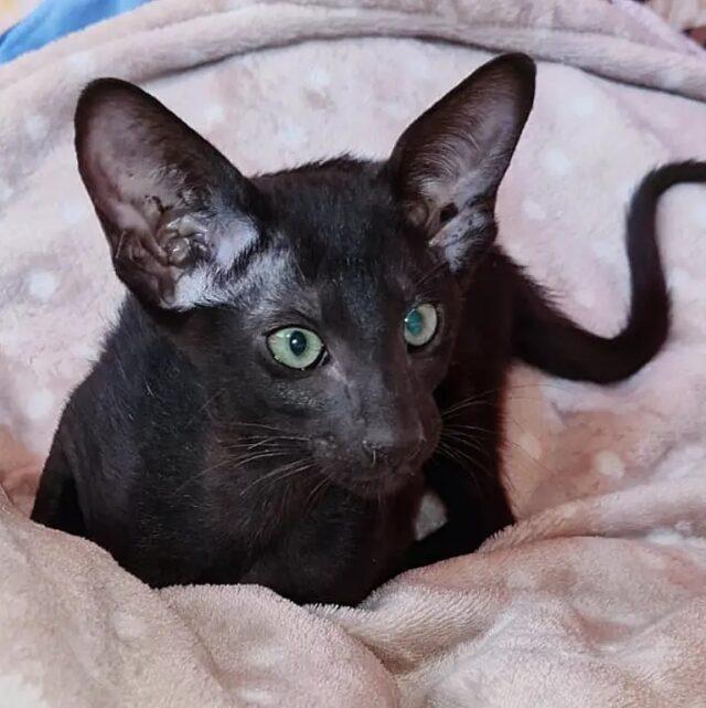 ▪︎412male-OSHn Ориентальный котик черного окраса, возраст 3,5 месяца, ценовая категория Low  WhatsApp +79162229975 #siaorimaniaall#siaorimaniasol#siaorimaniaoshn#siaorimaniam#siaorimania3525#siaorimania3545#siaorimanialow#siaorimaniamos