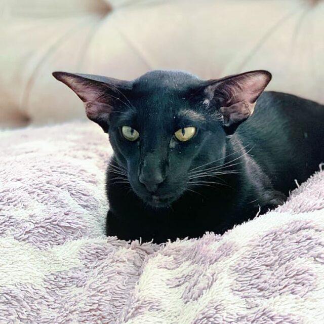 ▪︎111male-OSHn Ориентальный котик черного окраса, возраст 11 месяцев, ценовая категория Low  WhatsApp +79162229975 #siaorimaniaall#siaorimaniasol#siaorimaniaoshn#siaorimaniam#siaorimania3040#siaorimanialow#siaorimaniaekb#siaorimaniaready