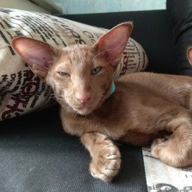 ▪︎275male-OSHo Ориентальный котик окраса циннамон, возраст 3 месяца, ценовая категория Middle  WhatsApp +79162229975 #siaorimaniaall#siaorimaniasol#siaorimaniaosho#siaorimaniam#siaorimania6575#siaorimaniamiddle#siaorimaniaspb#siaorimaniaready