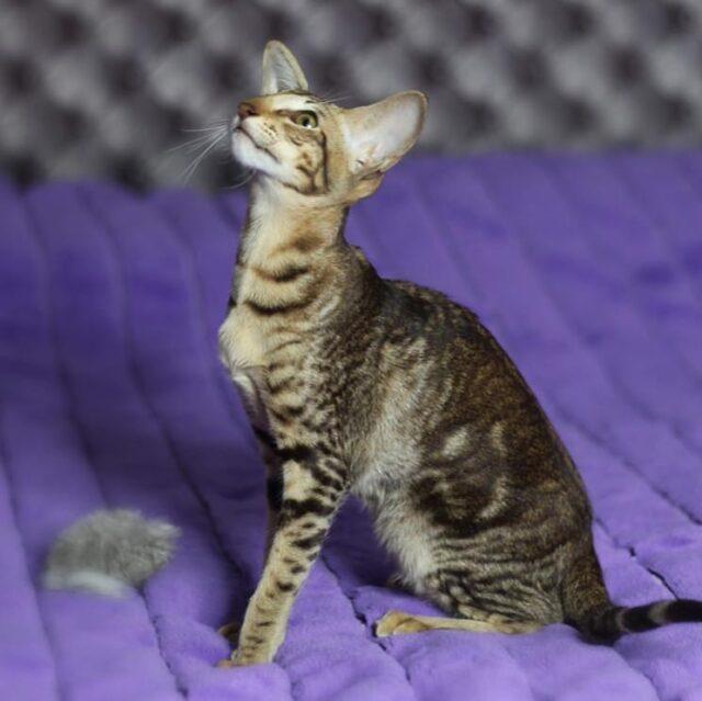 ▪︎263female-OSHn22 Ориентальная кошечка мраморного окраса, возраст 5 месяцев, ценовая категория Middle  WhatsApp +79162229975 #siaorimaniaall#siaorimaniatab#siaorimaniaosh22#siaorimaniaf#siaorimania5060#siaorimaniamiddle#siaorimaniaalmetevsk#siaorimaniaready