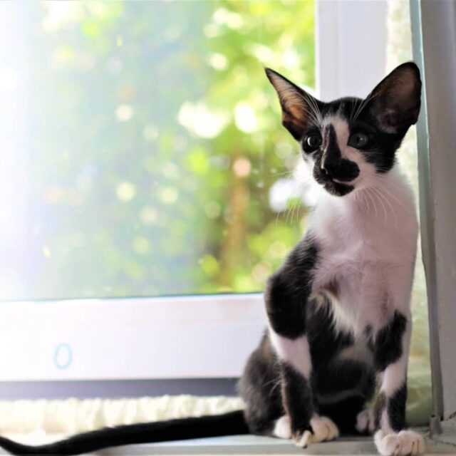 ▪︎401male-OSHn03 Ориентальный котик биколорного окраса, возраст 4,5 месяца, ценовая категория Low  WhatsApp +79162229975 #siaorimaniaall#siaorimaniaosh03#siaorimaniam#siaorimania3040#siaorimanialow#siaorimaniacheliabinsk#siaorimaniaready