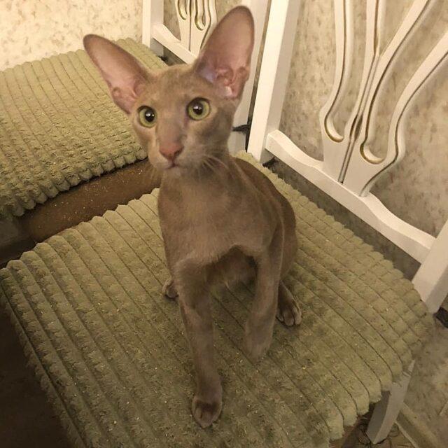 ▪︎133male-OSHp Ориентальный котик  окраса фавн, возраст 3,5 мес., ценовая категория High  WhatsApp +79162229975 #siaorimaniaall#siaorimaniasol#siaorimaniaoshp#siaorimaniam#siaorimania110120#siaorimaniahigh#siaorimaniamos#siaorimaniaready