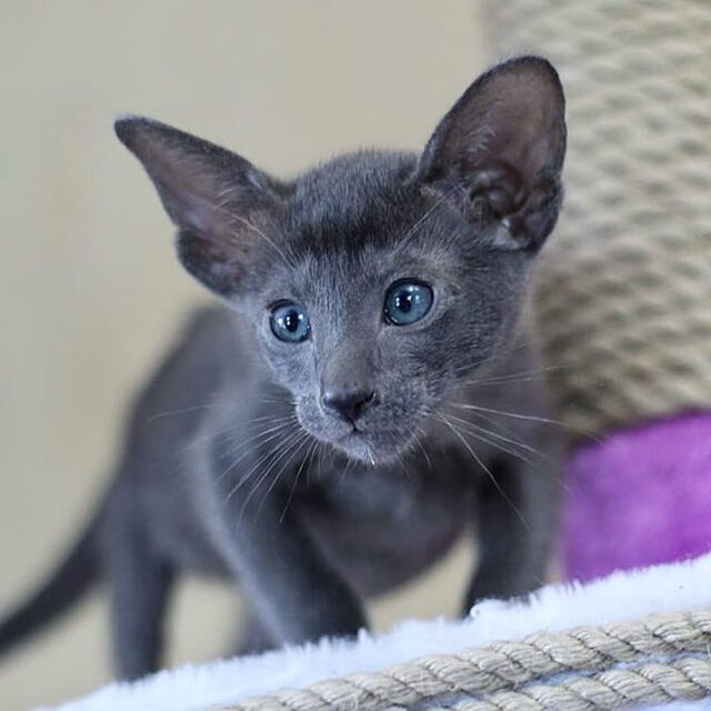 ▪︎401male-OSHa  Ориентальный котик голубого окраса, возраст 2 мес., ценовая категория Middle  WhatsApp +79162229975 #siaorimaniaall#siaorimaniasol#siaorimaniaosha#siaorimaniam#siaorimania5060#siaorimaniamiddle#siaorimaniacheliabinsk