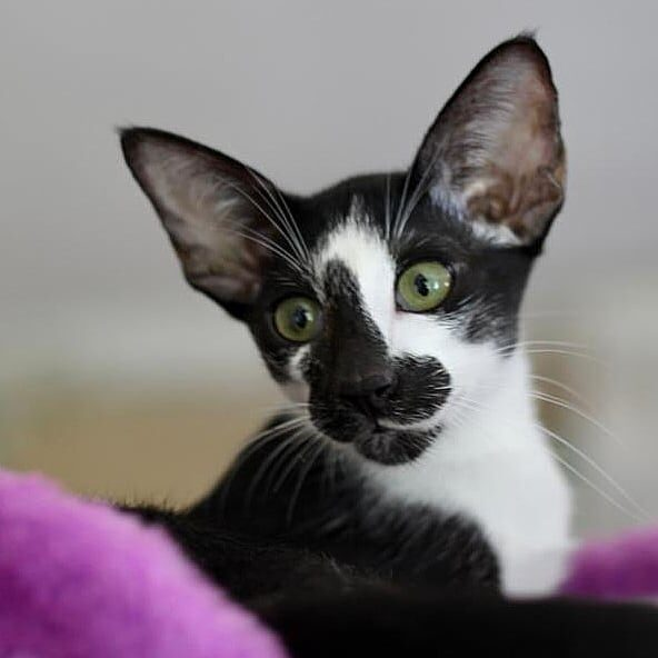 ▪︎401male-OSHn03 Ориентальный котик биколорного окраса, возраст 5 мес., ценовая категория Low  WhatsApp +79162229975 #siaorimaniaall#siaorimaniaosh03#siaorimaniam#siaorimania3040#siaorimanialow#siaorimaniacheliabinsk