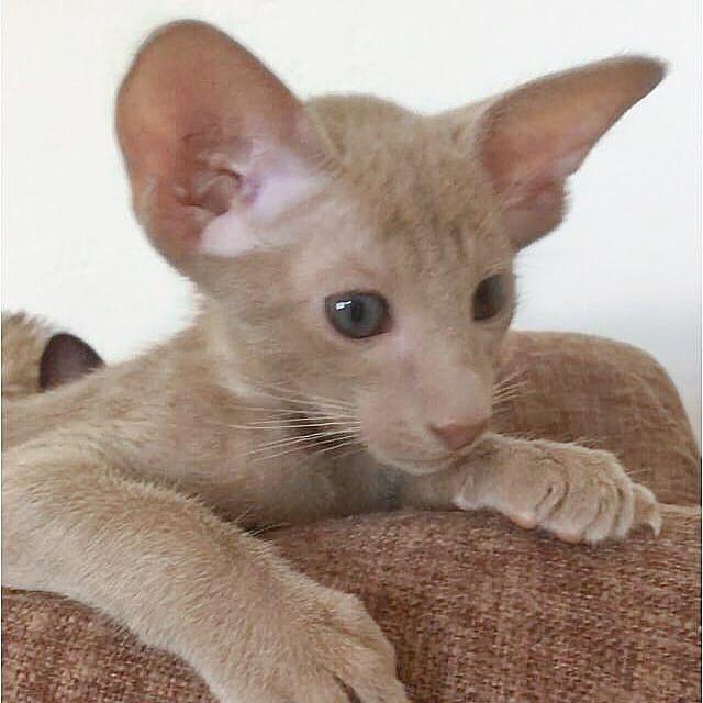▪︎205male-OSHp sold   Ориентальный котик  окраса фавн, возраст 2 мес., ценовая категория Middle  WhatsApp +79162229975 #siaorimaniaall#siaorimaniasol#siaorimaniaoshp#siaorimaniam#siaorimania5565#siaorimaniamiddle#siaorimaniatver