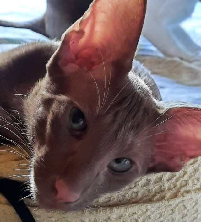 ▪︎167male-OSHo  Ориентальный котик  окраса циннамон, возраст 4,5 мес., ценовая категория High WhatsApp +79162229975 #siaorimaniaall#siaorimaniasol#siaorimaniaosho#siaorimaniam#siaorimania120130#siaorimaniahigh#siaorimaniatver#siaorimaniaready