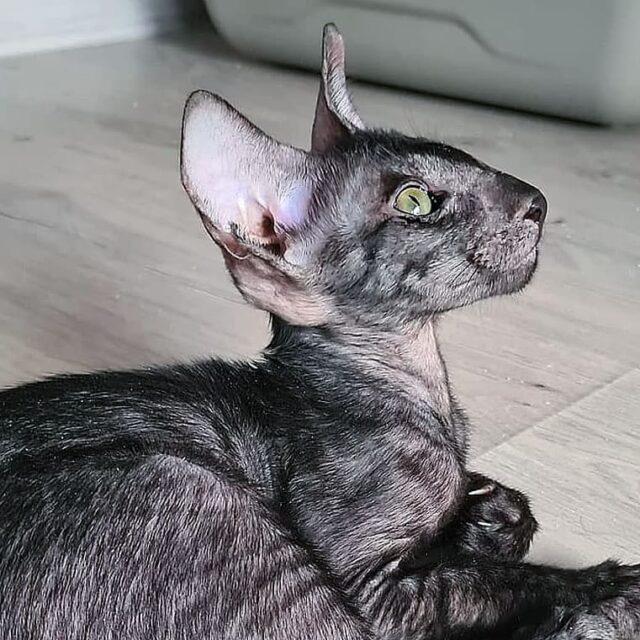 ▪︎483male-OSHns  Ориентальный котик черного дымчатого  окраса, возраст 3 мес., ценовая категория High  WhatsApp +79162229975 #siaorimaniaall#siaorimaniasol#siaorimaniaoshs#siaorimaniam#siaorimania8595#siaorimania8090#siaorimaniahigh#siaorimaniamos