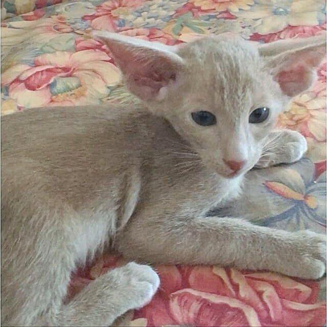 ▪︎205male-OSHc Ориентальный котик лилового окраса, возраст 2 мес., ценовая категория Middle  WhatsApp +79162229975 #siaorimaniaall#siaorimaniasol#siaorimaniaoshc#siaorimaniam#siaorimania6070#siaorimaniamiddle#siaorimaniatver