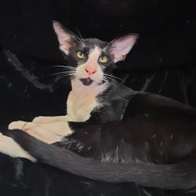 ▪︎371male-OSHn03  Ориентальный котик  биколорного окраса, возраст 6 месяцев мес., ценовая категория Low WhatsApp +79162229975 #siaorimaniaall#siaorimaniaosh03#siaorimaniam#siaorimania2030#siaorimanialow#siaorimaniaomsk#siaorimaniaready