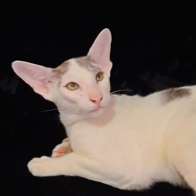 ▪︎379male-OSHс01  Ориентальный котик биколорного окраса, возраст 6 мес., ценовая категория Low  WhatsApp +79162229975 #siaorimaniaall#siaorimaniaosh03#siaorimaniam#siaorimania1525#siaorimanialow#siaorimaniaomsk#siaorimaniaready