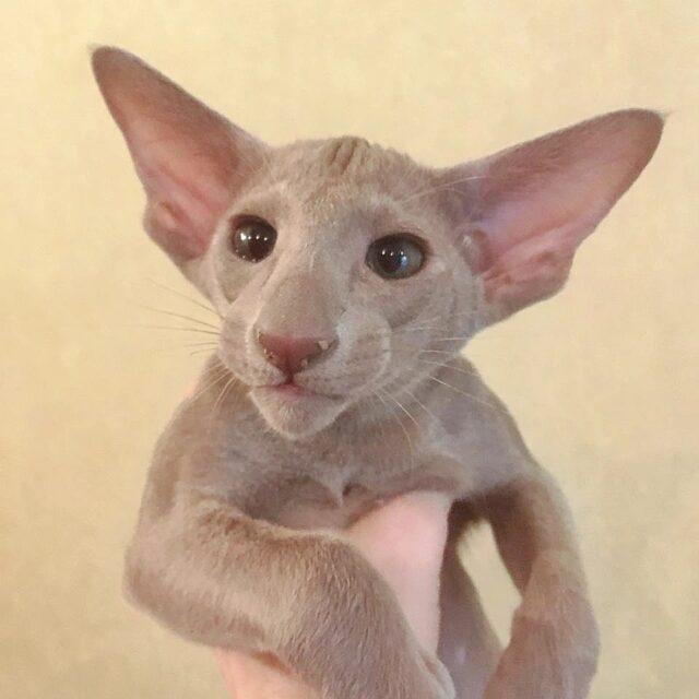 ▪︎132male-OSHc sold  Ориентальный котик лилового окраса, возраст 3 мес., ценовая категория High  WhatsApp +79162229975 #siaorimaniaall#siaorimaniasol#siaorimaniaoshc#siaorimaniam#siaorimania8595#siaorimaniahigh#siaorimaniamos