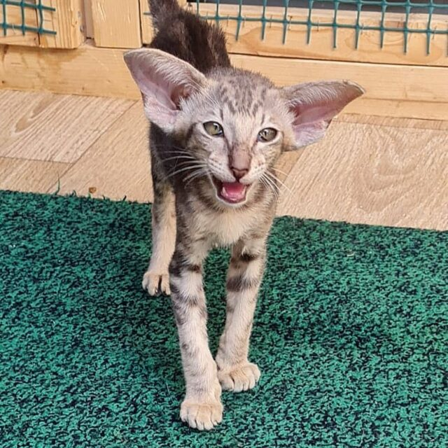 ▪︎412male-OSHa22  Ориентальный котик мраморного окраса, возраст 3 мес., ценовая категория Middle  WhatsApp +79162229975 #siaorimaniaall#siaorimaniatab#siaorimaniaosh22#siaorimaniam#siaorimania5060#siaorimaniamiddle#siaorimaniamos