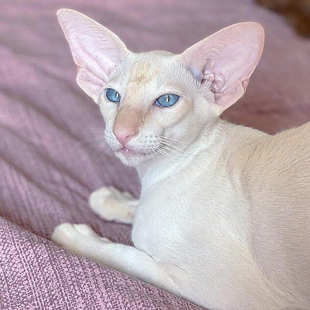 ▪︎393male-SIAd21  Сиамский котик  окраса ред-пойнт, возраст 5 мес., ценовая категория Middle  WhatsApp +79162229975 #siaorimaniaall#siaorimaniasiaall#siaorimaniasia21#siaorimaniam#siaorimania5565#siaorimaniamiddle#siaorimaniamos#siaorimaniaready
