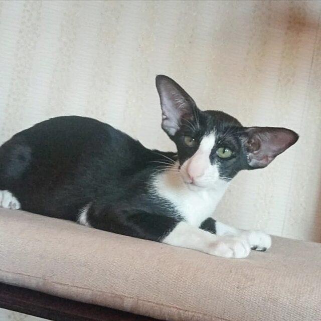 ▪︎441male-OSHn03 Ориентальный котик биколорного окраса, возраст 5 мес., ценовая категория Middle  WhatsApp +79162229975 #siaorimaniaall#siaorimaniaosh03#siaorimaniam#siaorimania5060#siaorimaniamiddle#siaorimaniaurga#siaorimaniakemerovo#siaorimaniaready