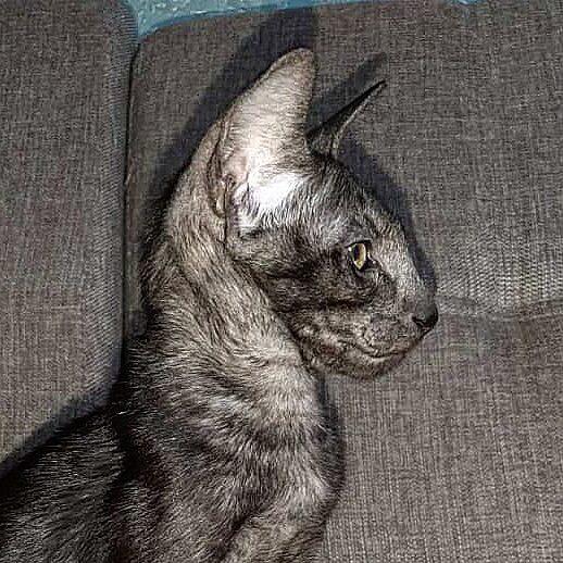 ▪︎408male-OSHns  Ориентальный котик черного дымчатого окраса, возраст 3 мес., ценовая категория Middle  WhatsApp +79162229975 #siaorimaniaall#siaorimaniasol#siaorimaniaoshs#siaorimaniam#siaorimania5545#siaorimania5565#siaorimaniamiddle#siaorimaniatumen