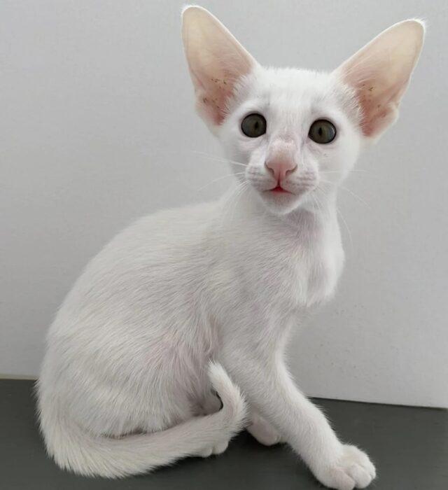 ▪︎364male-OSHw64 Ориентальный котик белого окраса, возраст 2 мес., ценовая категория Middle  WhatsApp +79162229975 #siaorimaniaall#siaorimaniasol#siaorimaniaoshw#siaorimaniam#siaorimania4535#siaorimania4555#siaorimaniamiddle#siaorimaniatumen