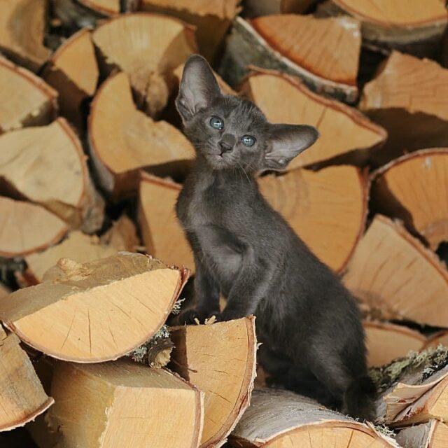 ▪︎472male-OSHa  Ориентальный котик голубого окраса, возраст 1,5 мес., ценовая категория High  WhatsApp +79162229975 #siaorimaniaall#siaorimaniasol#siaorimaniaosha#siaorimaniam#siaorimania7585#siaorimaniahigh#siaorimaniakrsnrsk