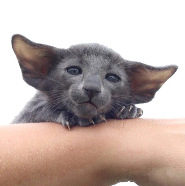 ▪︎472male-OSHa - 2 Ориентальный котик голубого окраса, возраст 1,5 мес., ценовая категория High  WhatsApp +79162229975 #siaorimaniaall#siaorimaniasol#siaorimaniaosha#siaorimaniam#siaorimania100110#siaorimaniahigh#siaorimaniakrsnrsk