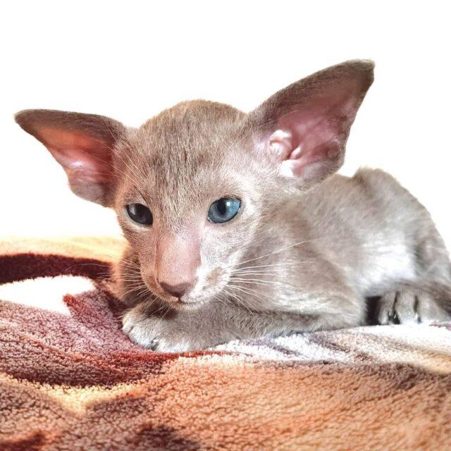 ▪︎360male-OSHc  Ориентальный котик лилового окраса, возраст 2 мес., ценовая категория High  WhatsApp +79162229975 #siaorimaniaall#siaorimaniasol#siaorimaniaoshc#siaorimaniam#siaorimania7080#siaorimaniahigh#siaorimaniamos