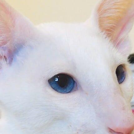 ▪︎523male-OSHw61  Ориентальный котик белого окраса, возраст 4 мес., ценовая категория Middle  WhatsApp +79162229975 #siaorimaniaall#siaorimaniasol#siaorimaniaoshw#siaorimaniam#siaorimania5060#siaorimaniamiddle#siaorimaniasevastopol#siaorimaniakrim#siaorimaniaready
