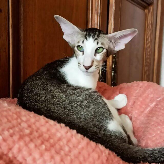 ▪︎265male-OSHn2403  Ориентальный котик биколорного окраса, возраст 4 мес., ценовая категория Middle  WhatsApp +79162229975 #siaorimaniaall#siaorimaniaosh03#siaorimaniam#siaorimania5060#siaorimaniamiddle#siaorimaniaminsk#siaorimaniabelarus#siaorimaniaready