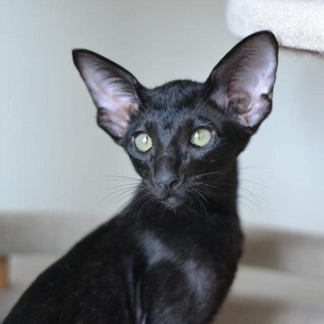 ▪︎213male-OSHn  Ориентальный котик черного окраса, возраст 3,5 мес., ценовая категория Middle  WhatsApp +79162229975 #siaorimaniaall#siaorimaniasol#siaorimaniaoshn#siaorimaniam#siaorimania6575#siaorimaniamiddle#siaorimaniacheliabinsk#siaorimaniaready