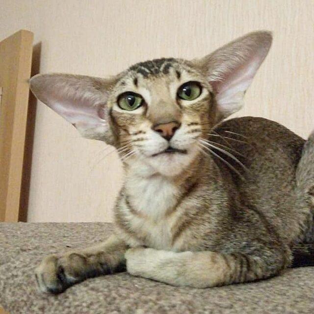 ▪︎348male-OSHn25  Ориентальный котик тикированного окраса, возраст 5 мес., ценовая категория Middle  WhatsApp +79162229975 #siaorimaniaall#siaorimaniatab#siaorimaniaosh25#siaorimaniam#siaorimania6070#siaorimaniamiddle#siaorimaniaorenburg#siaorimaniaready