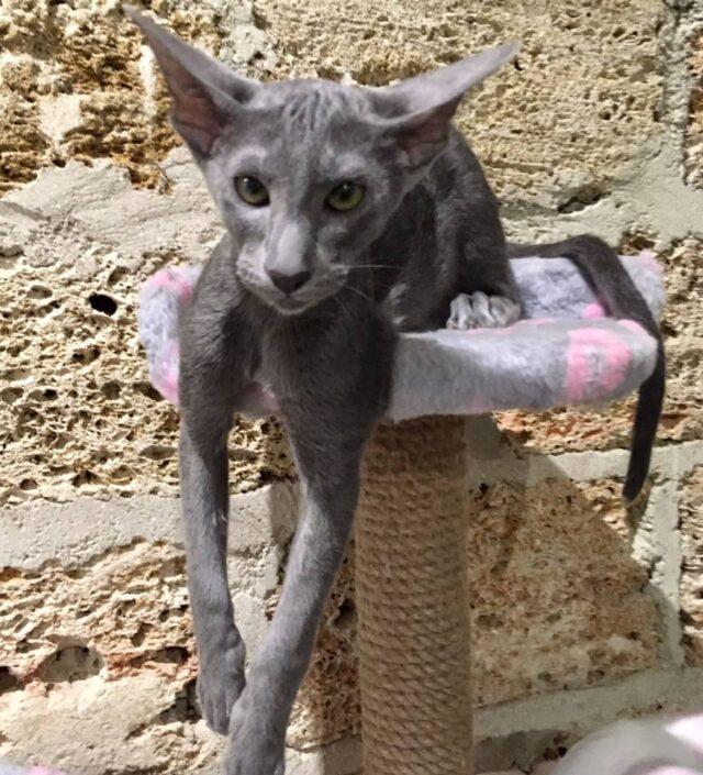 ▪︎531male-OSHa  Ориентальный котик голубого окраса, возраст 4,5 мес., ценовая категория Middle  WhatsApp +79162229975 #siaorimaniaall#siaorimaniasol#siaorimaniaosha#siaorimaniam#siaorimania4555#siaorimaniamiddle#siaorimaniasevastopol#siaorimaniakrim#siaorimaniaready