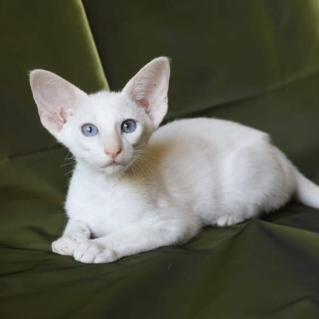 ▪︎220female-OSHw63  Ориентальная кошечка белого окраса с голубыми глазами, возраст 5 мес., ценовая категория Middle  WhatsApp +79162229975 #siaorimaniaall#siaorimaniasol#siaorimaniaoshw#siaorimaniaf#siaorimania4050#siaorimaniamiddle#siaorimaniaspb#siaorimaniaready