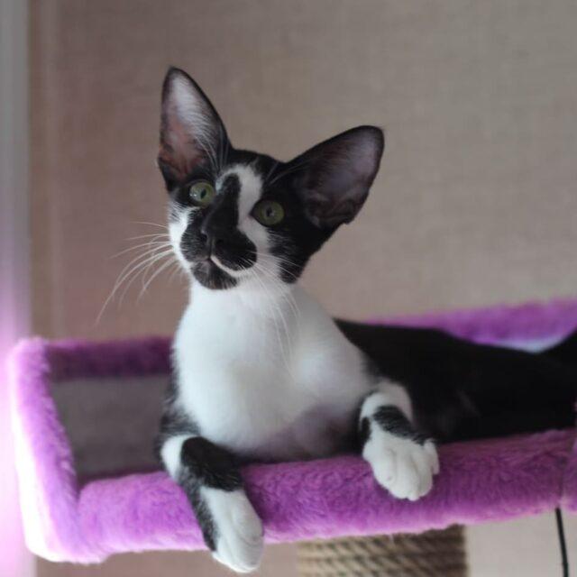 ▪︎401male-OSHn03  Ориентальный котик биколорного окраса, возраст 6 мес., ценовая категория Low  WhatsApp +79162229975 #siaorimaniaall#siaorimaniaosh03#siaorimaniam#siaorimania3040#siaorimanialow#siaorimaniacheliabinsk#siaorimaniaready