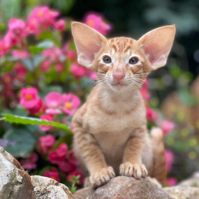 ▪︎530male-OSHd24 SOLD Ориентальный котик красного пятнистого окраса, возраст 2 мес., ценовая категория Middle  WhatsApp +79162229975 #siaorimaniaall#siaorimaniatab#siaorimaniaoshde#siaorimaniaosh24#siaorimaniam#siaorimania6575#siaorimaniamiddle#siaorimaniamos