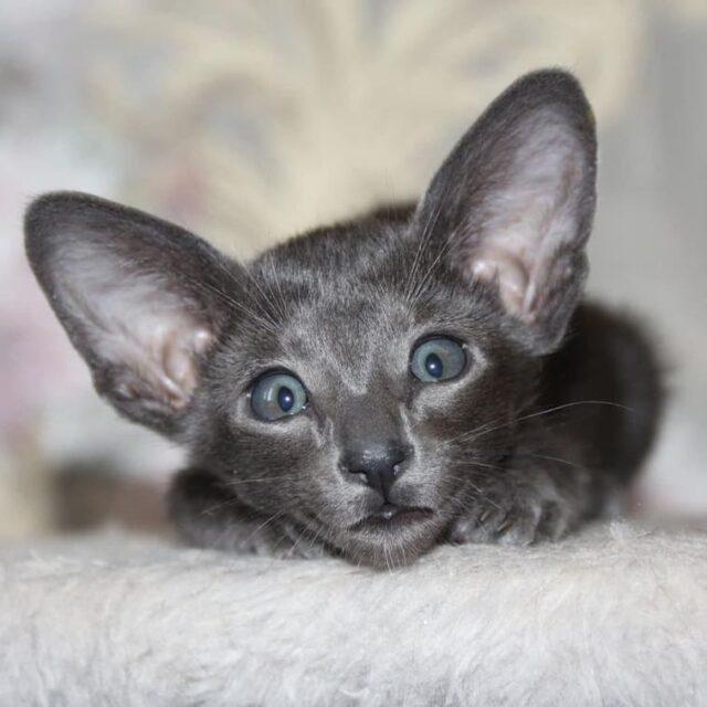 ▪︎112male-OSHa  Ориентальный котик голубого окраса, возраст 2 мес., ценовая категория Middle  WhatsApp +79162229975 #siaorimaniaall#siaorimaniasol#siaorimaniaosha#siaorimaniam#siaorimania5060#siaorimaniamiddle#siaorimaniacheliabinsk