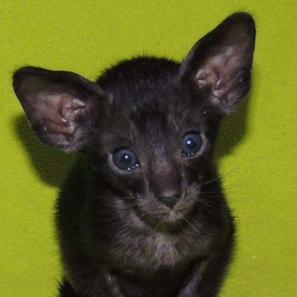 ▪︎438male-OSHns - 2 Ориентальный котик окраса черный дым, возраст 1,5 мес., ценовая категория Middle  WhatsApp +79162229975 #siaorimaniaall#siaorimaniasol#siaorimaniaoshn#siaorimaniam#siaorimania5565#siaorimaniamiddle#siaorimaniamos#siaorimaniaoshs