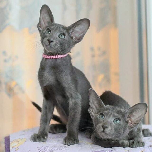 ▪︎116male-OSHa Ориентальный котик (слева) голубого окраса, возраст 2 мес., ценовая категория Middle  WhatsApp +79162229975 #siaorimaniaall#siaorimaniasol#siaorimaniaosha#siaorimaniam#siaorimania6070#siaorimaniamiddle#siaorimaniasam