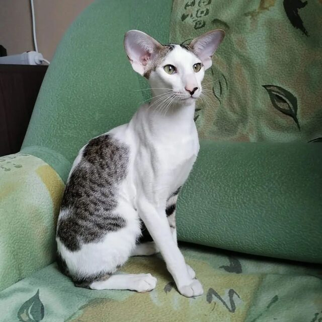 ▪︎526male-OSHn2403  Ориентальный котик биколорного окраса, возраст 7 мес., ценовая категория Low  WhatsApp +79162229975 #siaorimaniaall#siaorimaniaosh03#siaorimaniam#siaorimania3545#siaorimanialow#siaorimaniasurgut#siaorimaniaready